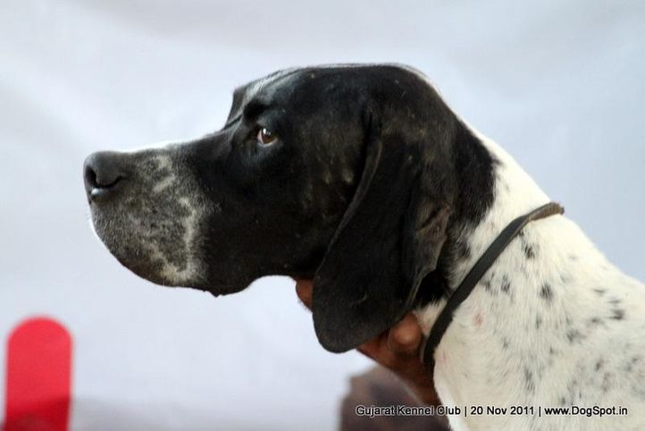 ex-56,pointer,sw-44,, Gujarat Kennel Club, DogSpot.in