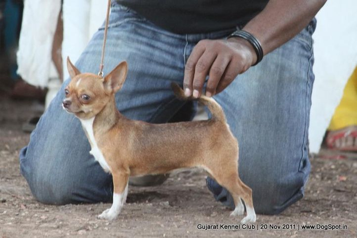 chihuahua,sw-44,, Gujarat Kennel Club, DogSpot.in