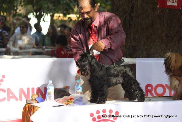 ex-32,schnauzer,sw-44,, Gujarat Kennel Club, DogSpot.in