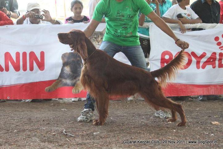 irish,sw-44,, Gujarat Kennel Club, DogSpot.in