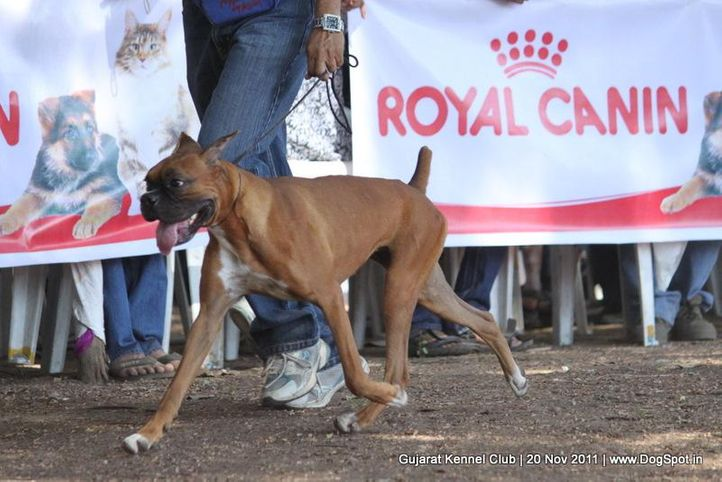 boxer,ex-103,sw-44,, Gujarat Kennel Club, DogSpot.in