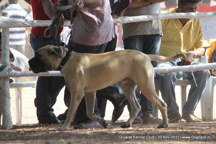mastiff,sw-44,, Gujarat Kennel Club, DogSpot.in