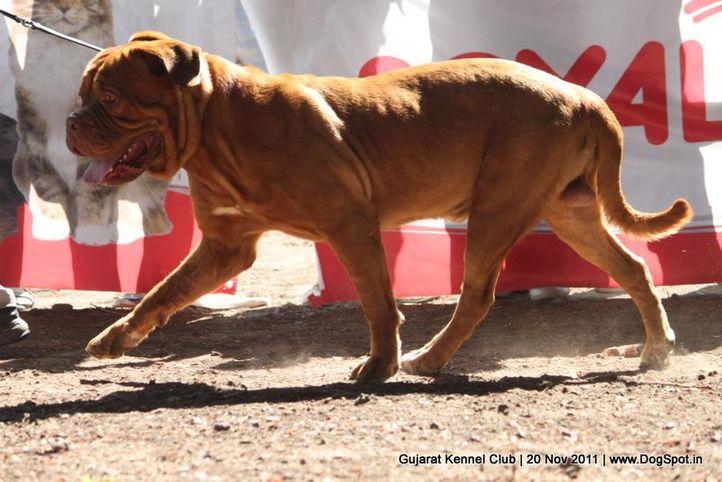 ex-133,mastiff,sw-44,, Gujarat Kennel Club, DogSpot.in