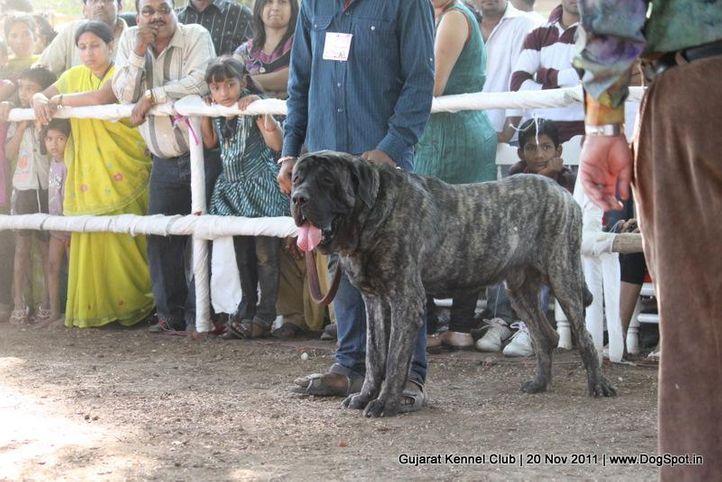 ex-152,mastiff,sw-44,, Gujarat Kennel Club, DogSpot.in