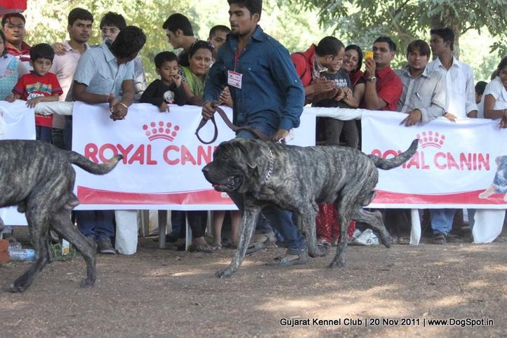 ex-152,mastiff,sw-44,, Gujarat Kennel Club, DogSpot.in