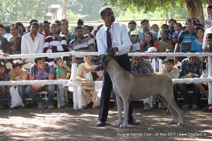 great dane,sw-44,, Gujarat Kennel Club, DogSpot.in