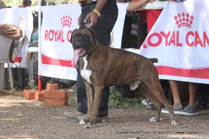 boxer,sw-44,, Gujarat Kennel Club, DogSpot.in