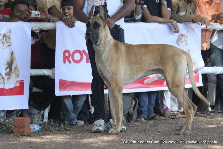 ex-136,great dane,sw-44,, Gujarat Kennel Club, DogSpot.in