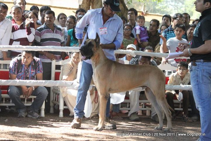 ex-139,great dane,sw-44,, Gujarat Kennel Club, DogSpot.in