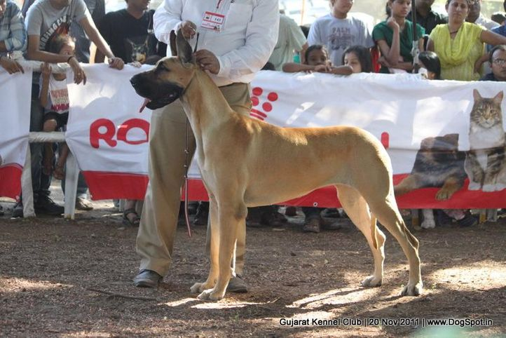 ex-143,great dane,sw-44,, Gujarat Kennel Club, DogSpot.in