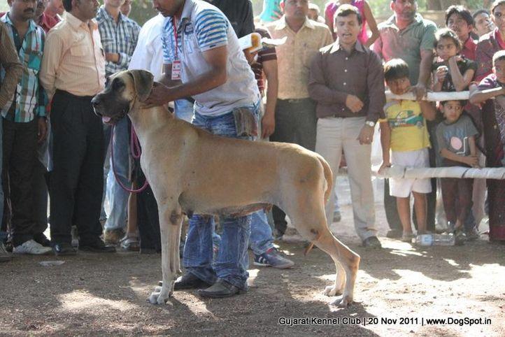 ex-146,great dane,sw-44,, Gujarat Kennel Club, DogSpot.in