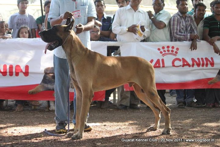 ex-150,great dane,sw-44,, Gujarat Kennel Club, DogSpot.in