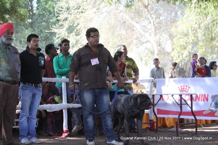 ex-153,mastiff,sw-44,, Gujarat Kennel Club, DogSpot.in