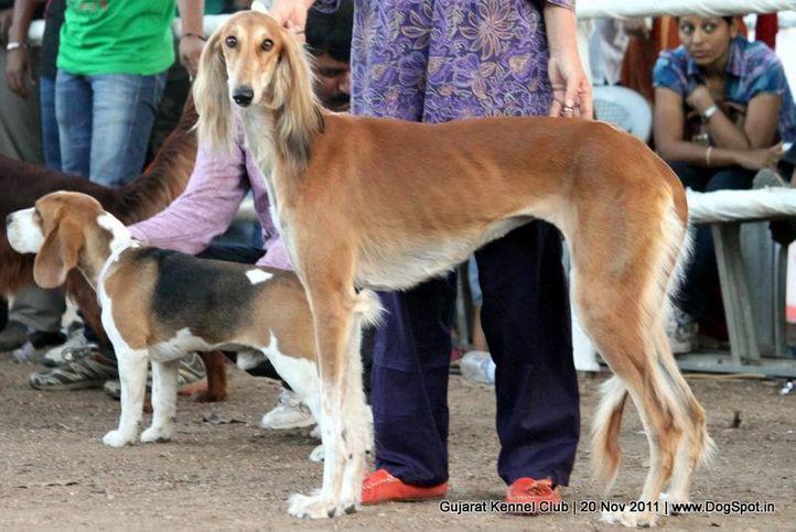 ex-54,saluki,sw-44,, Gujarat Kennel Club, DogSpot.in