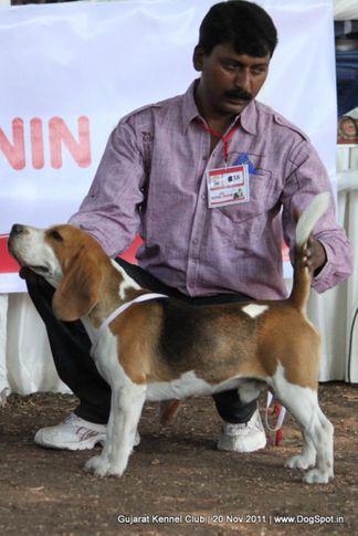 beagle,ex-38,sw-44,, Gujarat Kennel Club, DogSpot.in