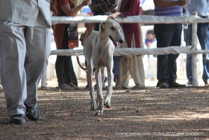 caravan hound,ex-41,sw-44,, Gujarat Kennel Club, DogSpot.in