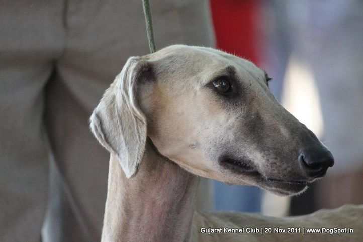 caravan hound,ex-42,sw-44,, Gujarat Kennel Club, DogSpot.in
