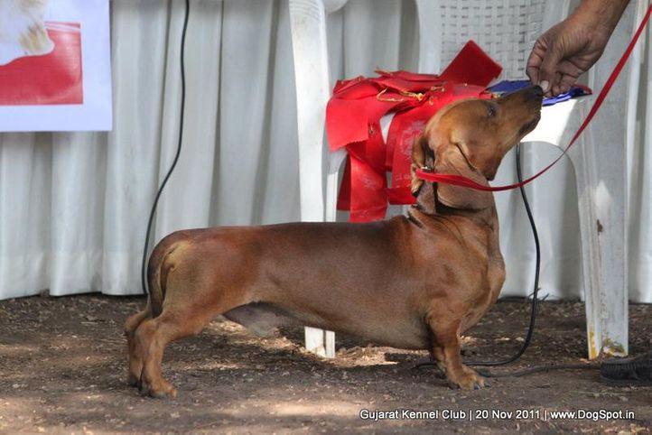 dachshund,ex-44,sw-44,, Gujarat Kennel Club, DogSpot.in