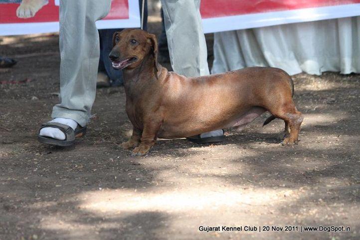 dachshund,ex-47,sw-44,, Gujarat Kennel Club, DogSpot.in