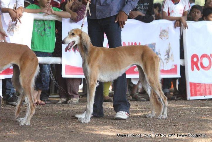 saluki,sw-44,, Gujarat Kennel Club, DogSpot.in