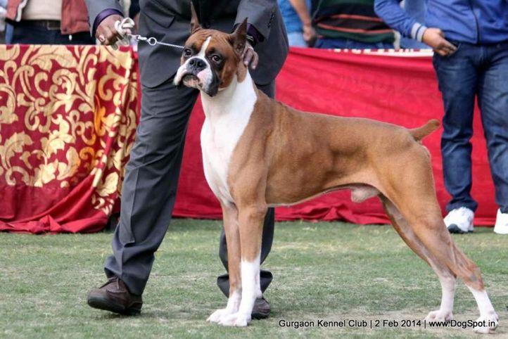 boxer,,sw-113, Gurgaon Dog Show (2 Feb 2014), DogSpot.in