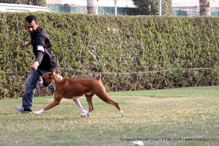 boxer,ex-100,,sw-113, LIQUOR ON ROCKS VON AGRANI, Boxer, DogSpot.in