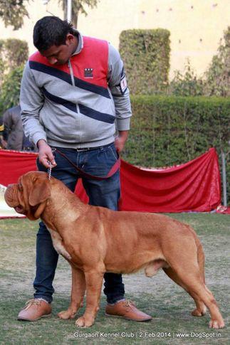 dogue de bordeaux,,sw-113, Gurgaon Dog Show (2 Feb 2014), DogSpot.in