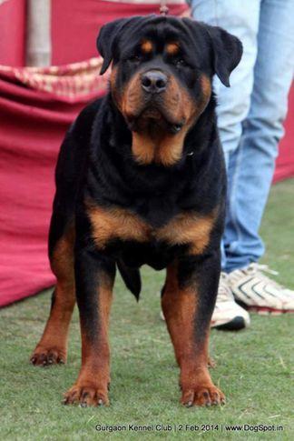 ex-138,rottweiler,,sw-113, SHESHWARAS ILVIS IN RINGH, Rottweiler, DogSpot.in