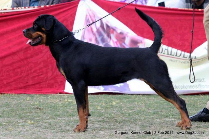 ex-146,rottweiler,,sw-113, CHIBBER'S COLLEGE GIRL, Rottweiler, DogSpot.in