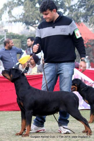 rottweiler,,sw-113, Gurgaon Dog Show (2 Feb 2014), DogSpot.in