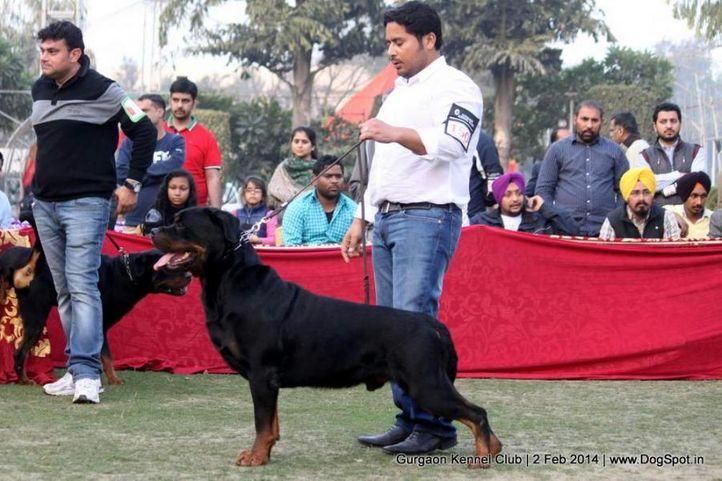 ex-150,rottweiler,,sw-113, UGO VON HAUS ENGEL, Rottweiler, DogSpot.in