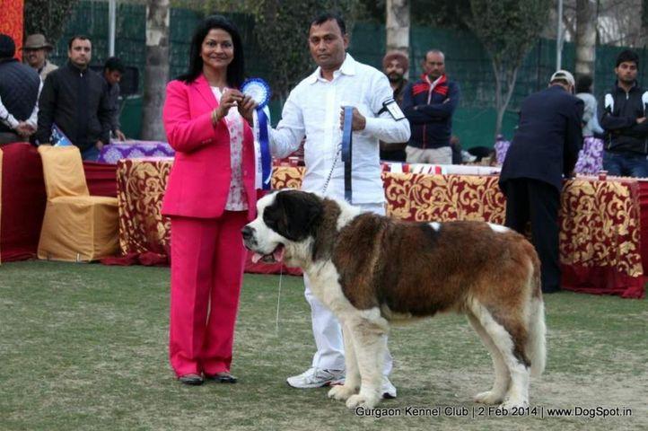 saint bernard,st bernard,,sw-113, Gurgaon Dog Show (2 Feb 2014), DogSpot.in