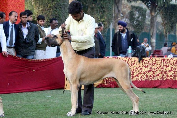 great dane,,sw-113, Gurgaon Dog Show (2 Feb 2014), DogSpot.in