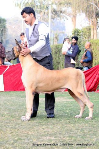 ex-126,great dane,,sw-113, RAODANES'S NEXT TOP MODEL, Great Dane, DogSpot.in