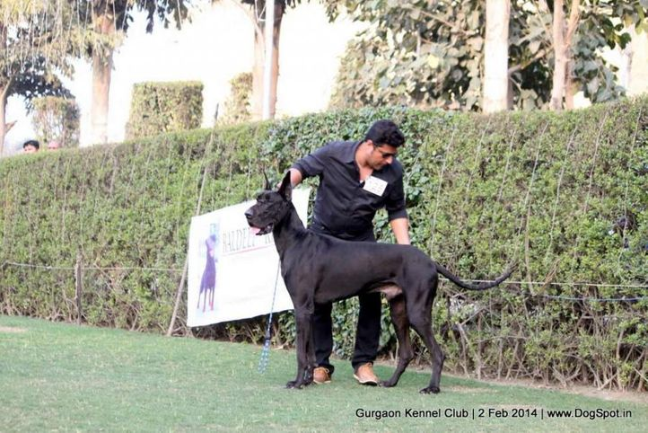 great dane,,sw-113, Gurgaon Dog Show (2 Feb 2014), DogSpot.in