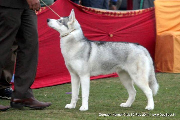 siberian husky,,sw-113, Gurgaon Dog Show (2 Feb 2014), DogSpot.in