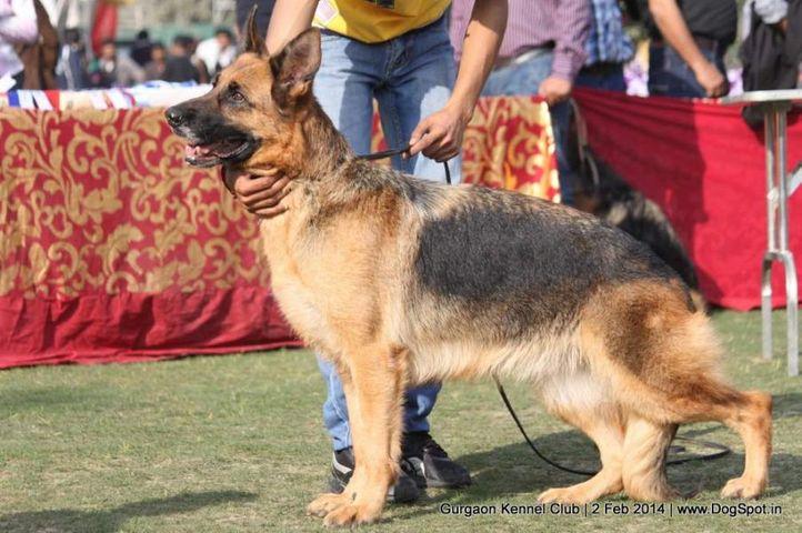 ex-193,gsd,,sw-113, CANDY, German Shepherd Dog, DogSpot.in