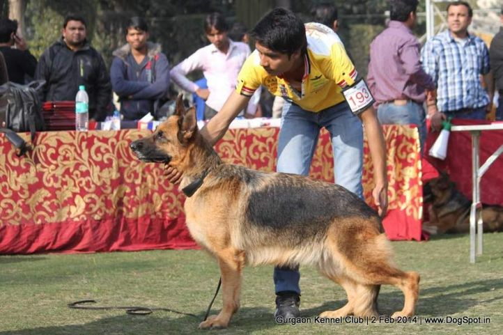 ex-193,gsd,,sw-113, CANDY, German Shepherd Dog, DogSpot.in