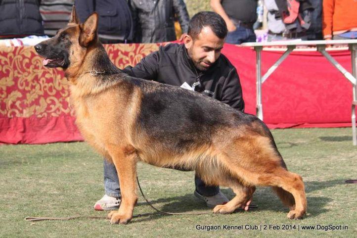 ex-191,gsd,,sw-113, ASHA'S JERRY, German Shepherd Dog, DogSpot.in