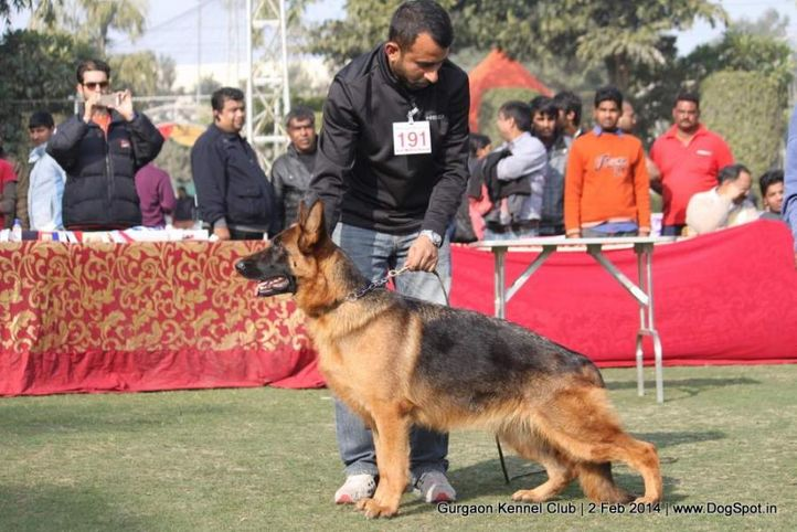 ex-191,gsd,,sw-113, ASHA'S JERRY, German Shepherd Dog, DogSpot.in