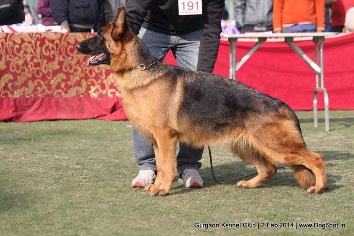 gsd,,sw-113,ex-191, ASHA'S JERRY, German Shepherd Dog, DogSpot.in
