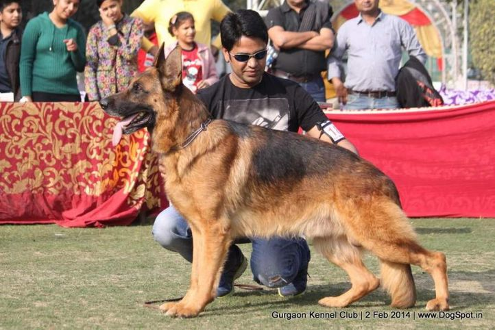 gsd,,sw-113, Gurgaon Dog Show (2 Feb 2014), DogSpot.in