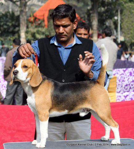 beagle,ex-37,,sw-113, MILO, Beagle, DogSpot.in