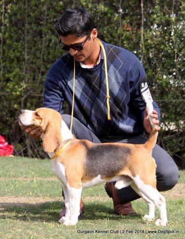 beagle,ex-38,,sw-113, RATNBELA NOTORIOUS CUMBACK, Beagle, DogSpot.in