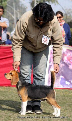 beagle,ex-36,,sw-113, ZENITH BRUNO, Beagle, DogSpot.in