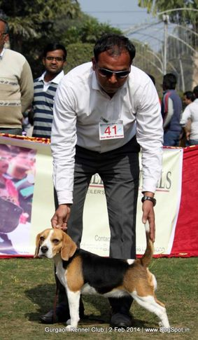 beagle,ex-41,,sw-113, ROSY'S CHANCY GIRL , Beagle, DogSpot.in