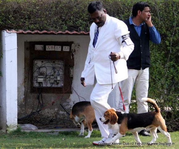 beagle,ex-42,,sw-113, TH. CH. CAESERS MAGIC SMURF, Beagle, DogSpot.in