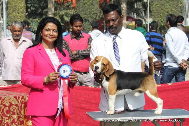 beagle,,sw-113, Gurgaon Dog Show (2 Feb 2014), DogSpot.in