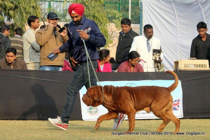 dogue de bordeaux,sw-77,, Gurgaon Dog Show 2012, DogSpot.in