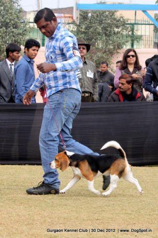 beagle,ex-47,sw-77,, Gurgaon Dog Show 2012, DogSpot.in